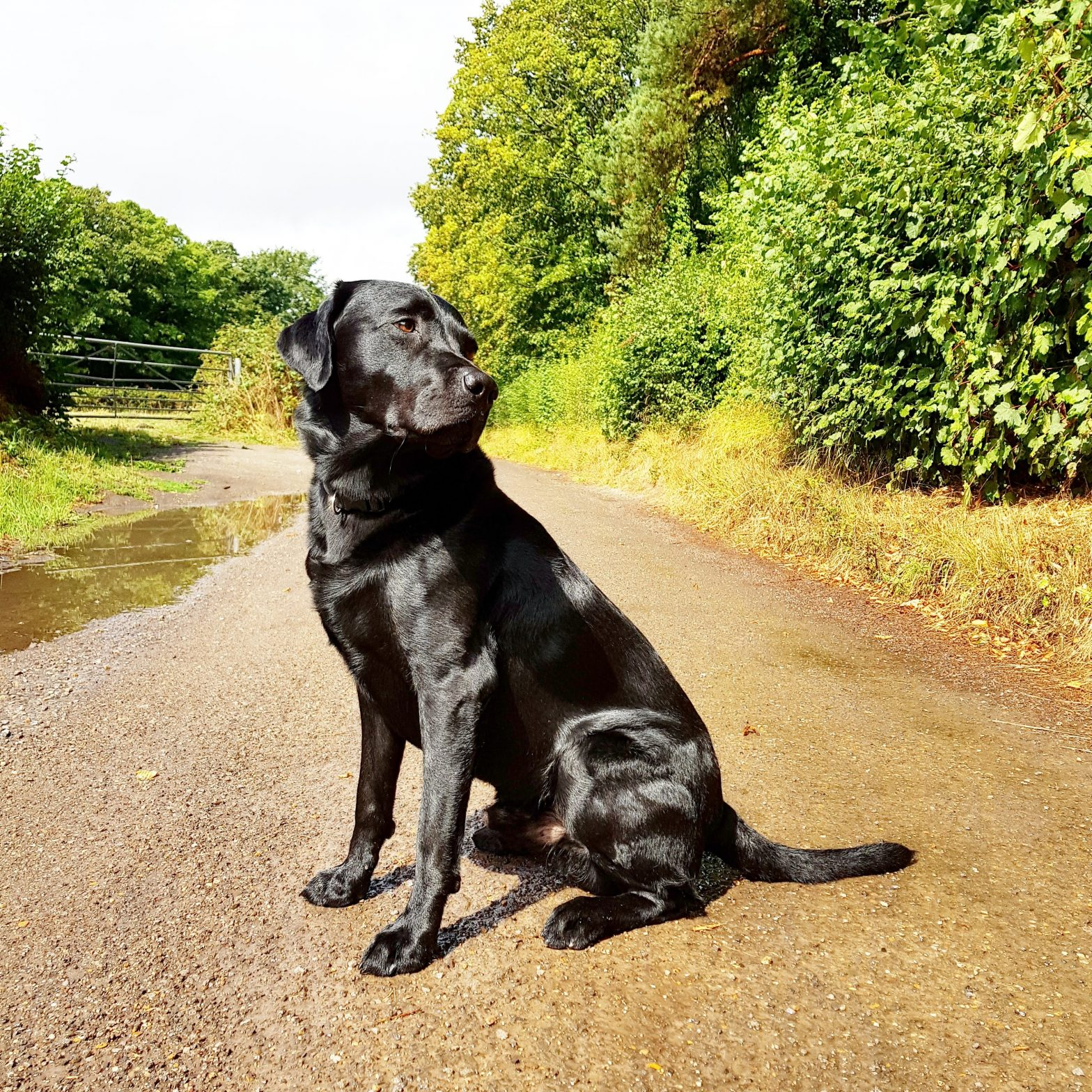 labrador retriever sitting in path